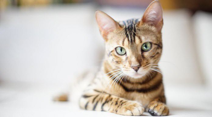 The Bengal Cat. Source: image from congdegato.com