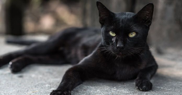 The Black Cat Why Do Some People Hate Black Cats Petazi