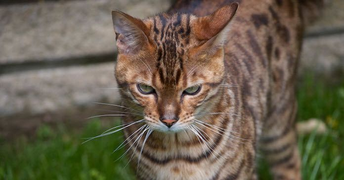 Bengal Cat Characteristics Behaviour What To Consider Before Buying