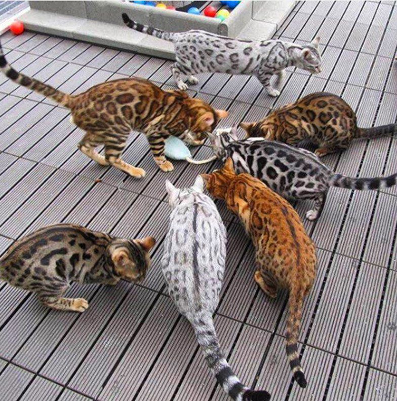 Are bengal cats dangerous