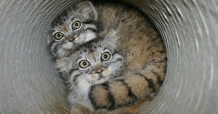 Pallas's cat kittens. Source: image from flickr.com