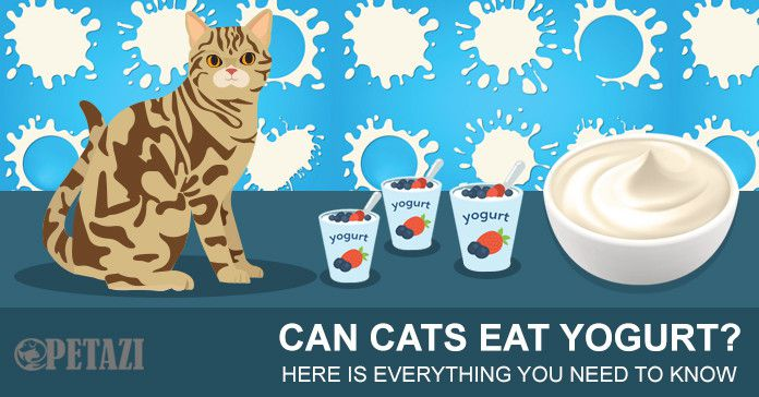 Can Cats Eat Yogurt Here Is Everything You Need To Know Petazi