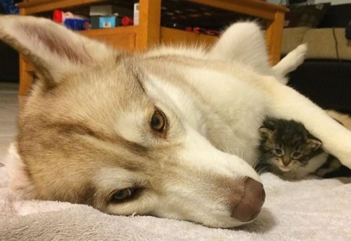 husky-helps-heartbroken-kitten