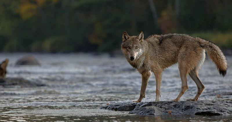 how wolves change rivers 2